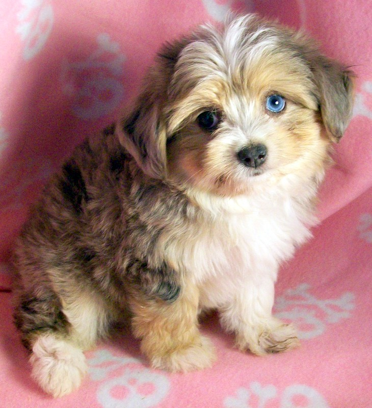 Toy Australian Shepherd Poodle Dogs Puppies For Sale Miniature    Poodle Australian Shepherd Mix