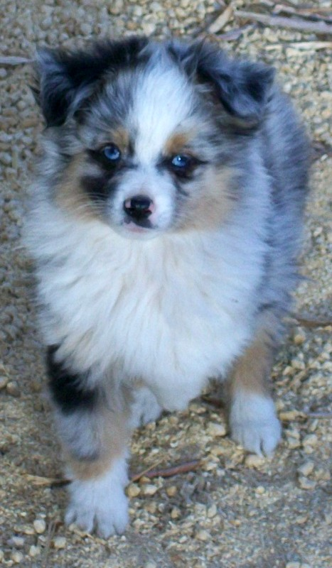 Toy Australian Shepherd Poodle Dogs Puppies For Sale Miniature