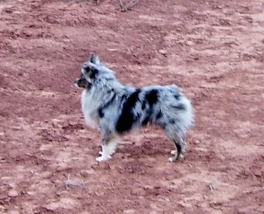Toy Australian Shepherd Poodle Dog Puppy Breeder Miniature
